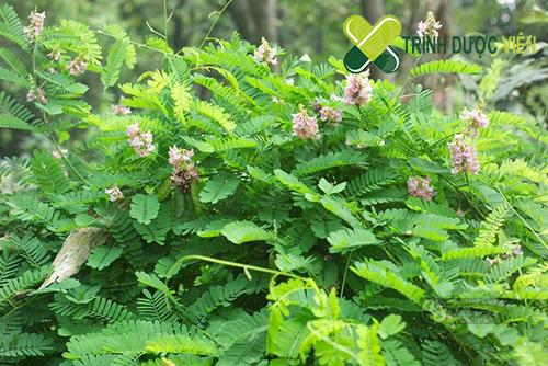 Cam thảo là cây thuốc khá phổ biến hiện nay