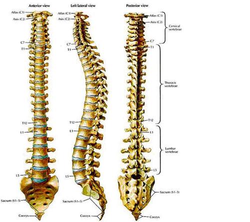 Cột sống - Cột trụ của cơ thể
