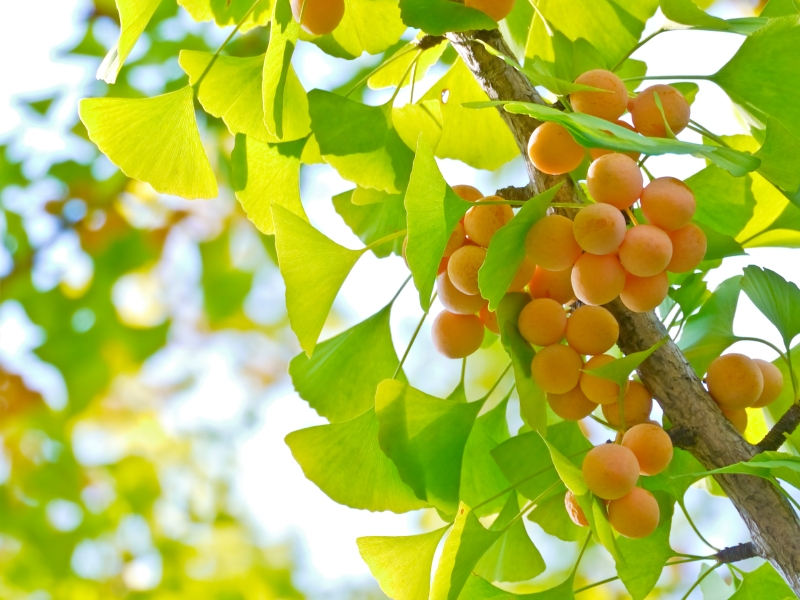 Khám phá công dụng đặc biệt của cây Bạch quả với sức khỏe con người