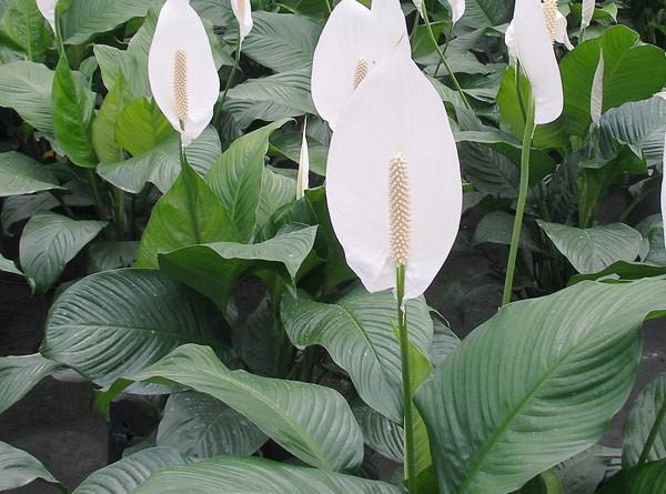 Cây lan ý được xem là cây hoa có thể cân bằng trường khí