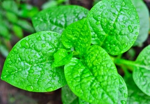 Sử dụng rau mùng tơi sai cách có thể bị tiêu chảy