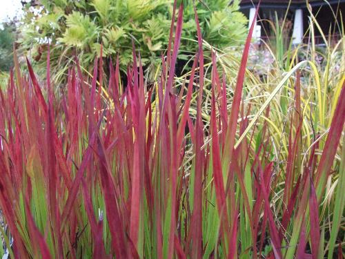 Rễ cỏ tranh - bài thuốc quý giải độc gan, bổ thận