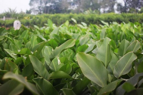 Lá dong thường mọc hoang nhiều ở những nơi ẩm ướt
