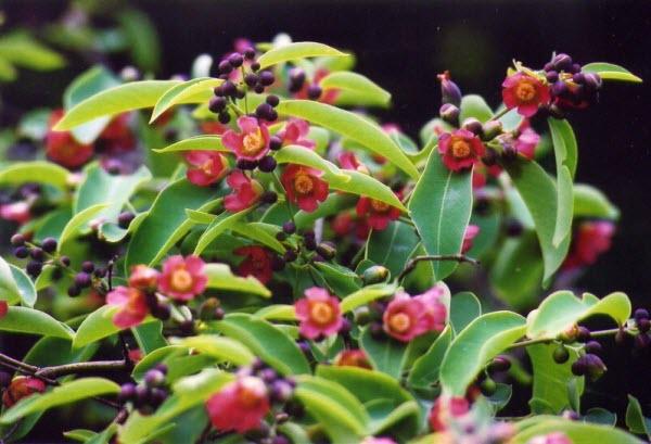Thành ngạnh là một loại cây chủ yếu mọc hoang ở miền Bắc nước ta