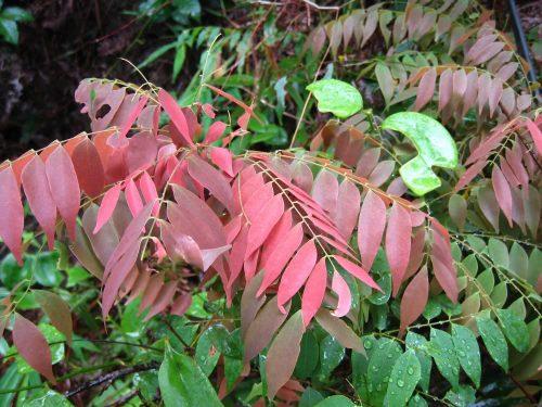 Khế rừng là loại cây mọc hoang phân bố ở các khu rừng
