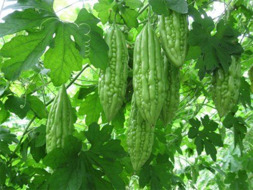Khổ qua được trồng khá phổ biến ở nước ta