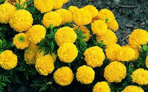 Bật mí tác dụng tuyệt vời từ cây hoa cúc vạn thọ