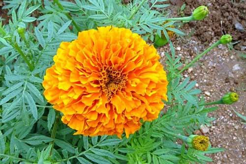 Tìm hiểu về cây hoa cúc vạn thọ