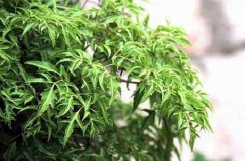 Một số thông tin về cây đinh lăng